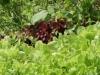 Дачные зарисовки. Листья салата